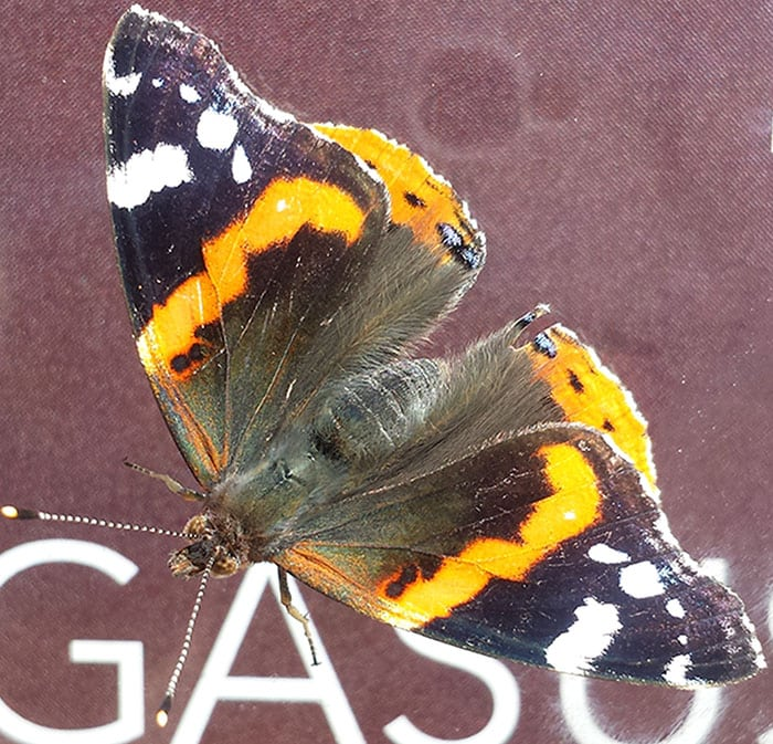 Orange and black butterfly resting on a billboard about Pegasus.